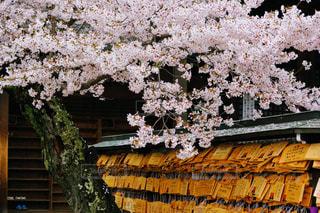 絵馬と桜の写真・画像素材[2808433]