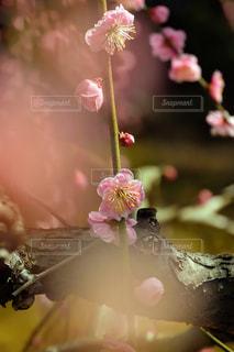 梅の花の写真・画像素材[2894953]