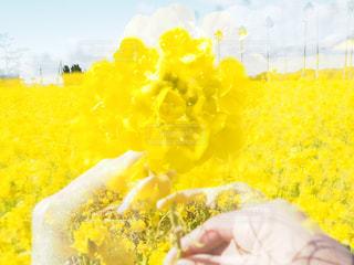 菜の花畑の写真・画像素材[2784833]