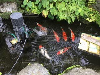 池の鯉の写真・画像素材[878783]