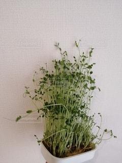 豆苗の栽培。の写真・画像素材[2759052]