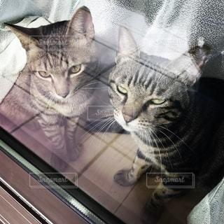 窓越しの2匹の猫の写真・画像素材[2752998]