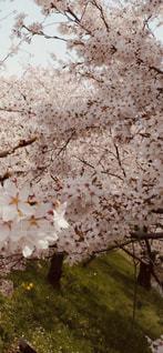 満開の桜の写真・画像素材[2753405]
