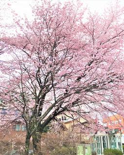 街中に佇む桜の木の写真・画像素材[2794800]