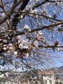 小さな桜の写真・画像素材[3286777]