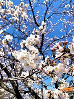 快晴と桜の写真・画像素材[3319003]