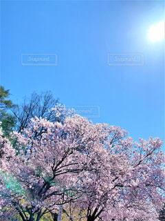 快晴と桜の写真・画像素材[3319006]