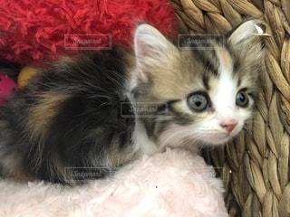 ピンクの毛布の上に横たわっている猫の写真・画像素材[2764841]