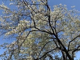 葉桜の写真・画像素材[2770826]