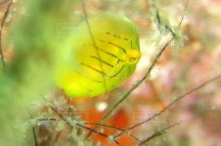 黄色の魚の写真・画像素材[2793474]