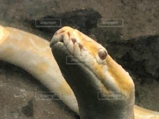 体にハート♡を持つ白蛇ちゃん③の写真・画像素材[2777733]
