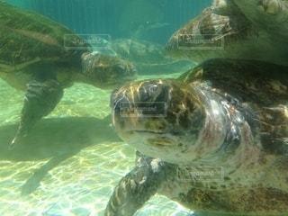 水の下で泳ぐ亀の写真・画像素材[2784266]