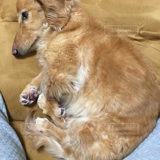犬の写真・画像素材[106918]
