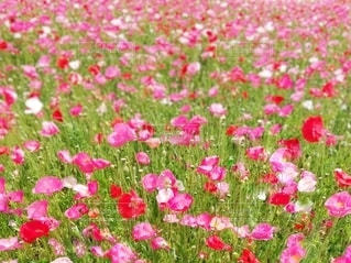 ポピーの花畑の写真・画像素材[2786335]