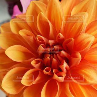 オレンジ色のダリア✿の写真・画像素材[3066820]