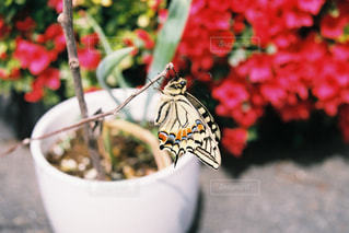 アゲハチョウ 羽化の写真・画像素材[2774037]