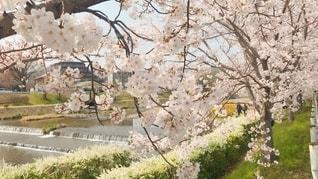 賀茂川沿いを散歩の写真・画像素材[2782674]