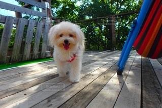 木製のフェンスの上に座っている犬の写真・画像素材[2773919]