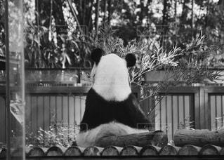 座って餌を食べているパンダですの写真・画像素材[2779493]