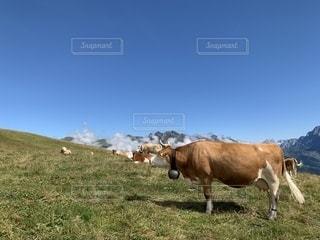 緑豊かな畑の上に立っている茶色と白の牛の写真・画像素材[2781749]