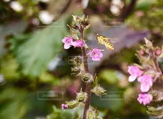 赤紫蘇の花と蜂の写真・画像素材[2784633]
