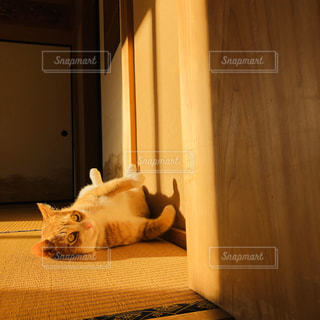 畳の上の夕方の猫の写真・画像素材[2804828]