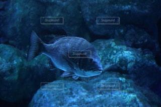 水の中のクロダイの写真・画像素材[2986262]