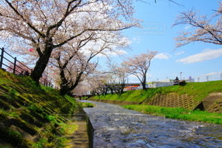 五条川 桜並木の写真・画像素材[3088616]