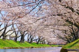 五条川 桜並木の写真・画像素材[3088673]