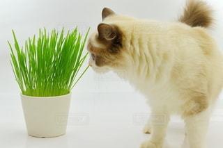 猫草を食べるラグドールの写真・画像素材[3352542]