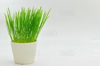 猫が大好きな猫草の写真・画像素材[3352547]