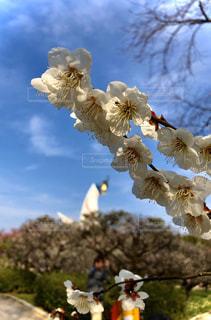 太陽の塔と桜の写真・画像素材[2787921]
