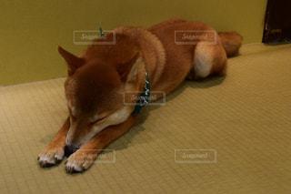 キツネっぽい犬の写真・画像素材[2786638]