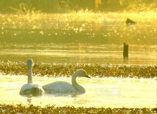 二羽の白鳥の写真・画像素材[3802651]