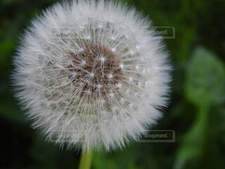 タンポポの綿毛の写真・画像素材[4566128]