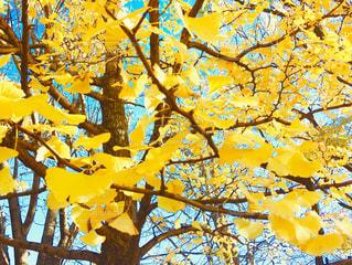 見頃なイチョウの木の写真・画像素材[2793922]