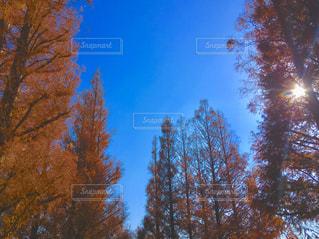 メタセコイアの紅葉の写真・画像素材[2815144]