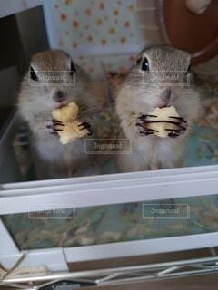 バナナを食べるリチャードソンジリスの写真・画像素材[3882722]