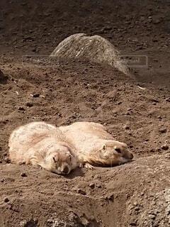 寝そべるプレーリードッグの写真・画像素材[4230134]