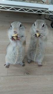 バナナを食べているりすの写真・画像素材[4230127]