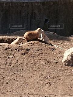 プレーリードッグの赤ちゃんとお母さんの写真・画像素材[4230139]