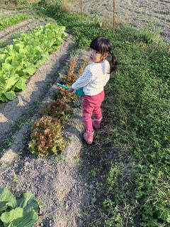 野菜に水やりをする女の子の写真・画像素材[2797030]