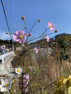 コスモスが咲いているの写真・画像素材[2798687]