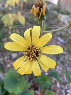 黄色い花の写真・画像素材[2804347]
