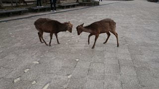 鹿の決闘の写真・画像素材[2800040]