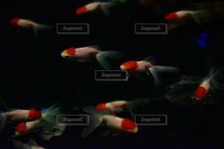 金魚の群れの写真・画像素材[2798671]