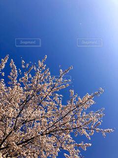 快晴の青空の中の満開の桜の写真・画像素材[2819250]