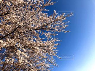 暖かかった3月末、青空バックに満開の桜の写真・画像素材[2820371]
