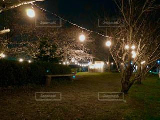 夜にライトアップされた桜の写真・画像素材[2849540]