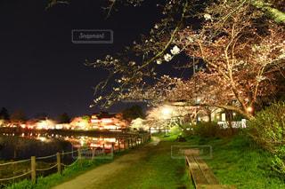 夜の桜祭りの写真・画像素材[2856364]
